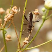 Camptopus lateralis - Le Camptope des Genêts
