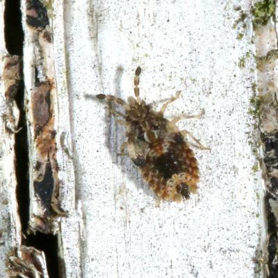 Aradus sp (larve)