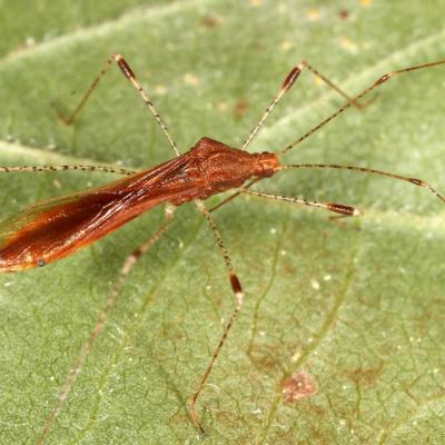 Berytidae