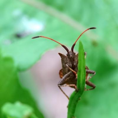 Coreus marginatus - Punaise brune