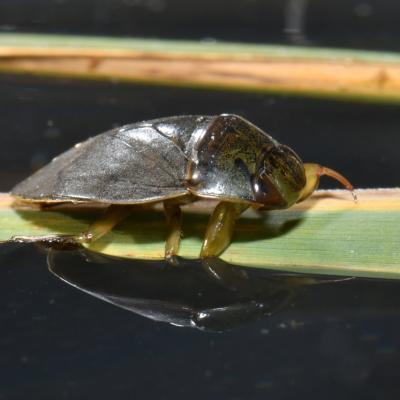 Ilyocoris cimicoides - La Naucore