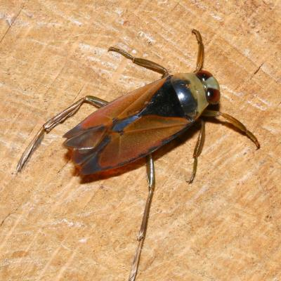 Notonectidae
