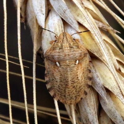 Scutelleridae