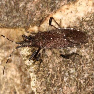 Stenocephalidae