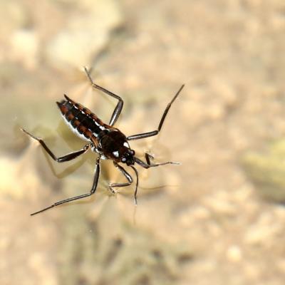 Veliidae