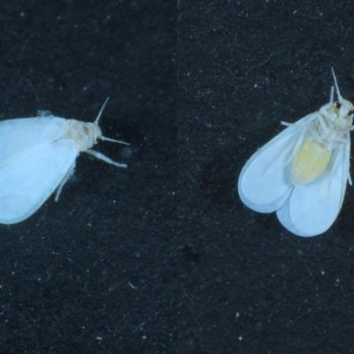 Aleyrodidae