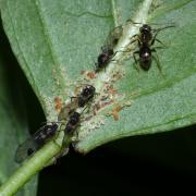 Anoecia corni - Puceron du Cornouiller