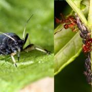 Aphis fabae - Puceron noir de la fève