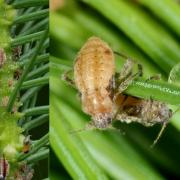 Cinara pilicornis - Puceron de l'Epicéa