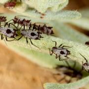 Macrosiphoniella absinthii - Puceron de l'Absinthe