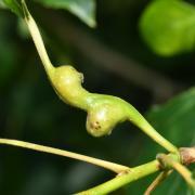 Pemphigus bursarius - Puceron gallicole des pétioles de Peuplier