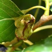 Pemphigus populi - Galle en poche du Peuplier noir