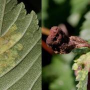 Tetraneura caerulescens - Galle en bourse de l'Orme champêtre