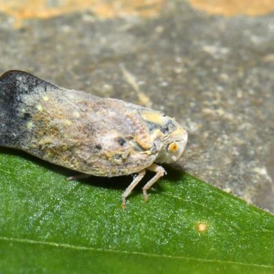 Flatidae