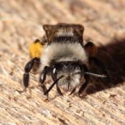 Andrena cineraria - Abeille des sables