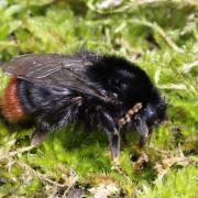 Bombus lapidarius - Bourdon des pierres (femelle)