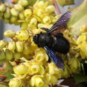 Xylocopa violacae - Abeille charpentière (mâle)