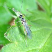 Aleiodes sp - Emergence d'un mâle
