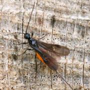 Atanycolus sp (femelle)