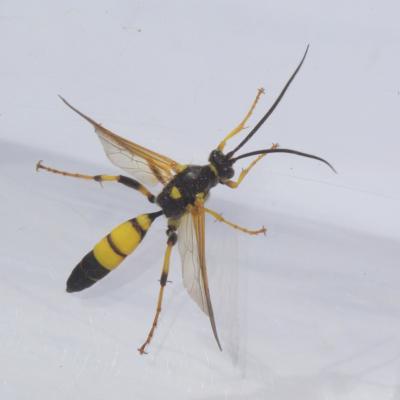 Ichneumon xanthorius (mâle)
