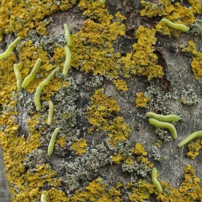 Tomostethus nigritus - Tenthrède du Frêne (larves)
