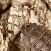 Armadillidium nasatum - Armadille à long museau