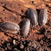 Oniscus asellus - L'Aselle des murs
