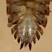 Trachelipus rathkei