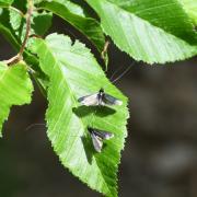 Adela reaumurella - Adèle verdoyante (mâle)