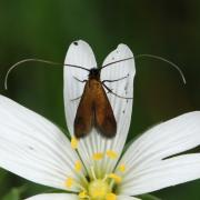 Cauchas rufimitrella - Adèle cuivrée