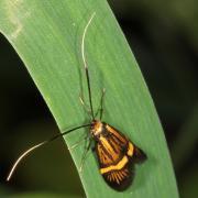 Nemophora degeerella - Coquille d'or (femelle)