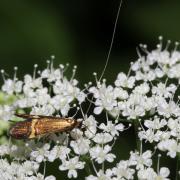 Nemophora degeerella - Coquille d'or (mâle)