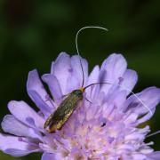 Nemophora metallica - Adèle de la Scabieuse (femelle)