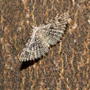 Alucita hexadactyla - Ornéode du Chèvrefeuille