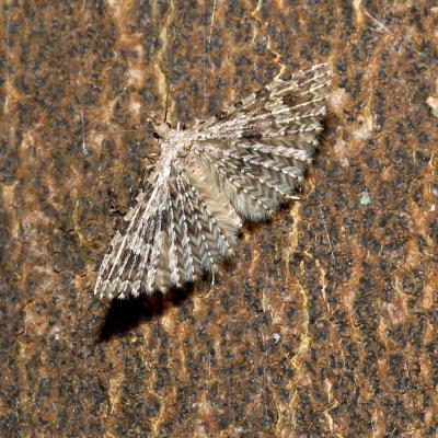 Alucitidae