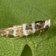 Argyresthia trifasciata - Teigne des pousses de Thuya