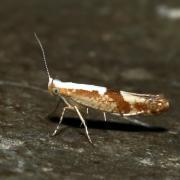 Argyresthia pruniella - Teigne du Cerisier