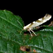 Argyresthia pygmaeella