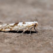 Argyresthia sorbiella - La Teigne du Sorbier