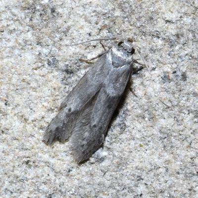 Blastobasidae