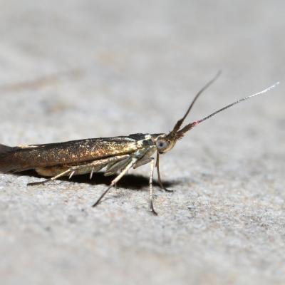 Coleophoridae