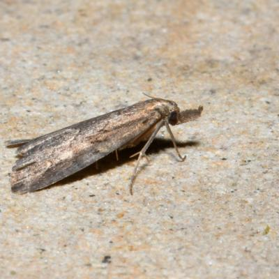 Schrankia costaestrigalis - Hypénode du Serpolet