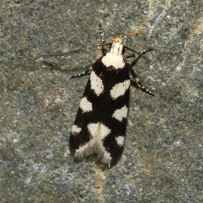 Gelechiidae