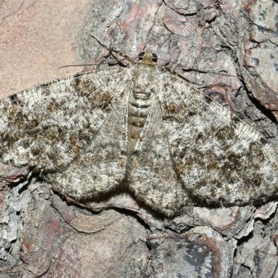 Deileptenia ribeata - Boarmie du Sapin (femelle)