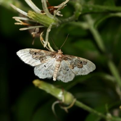 Idaea rusticata - Acidalie rustique, Phalène rustique