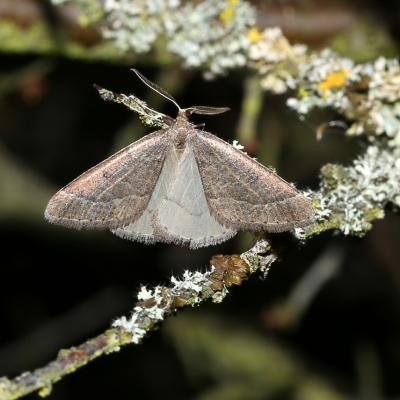 Theria primaria - Phalène précoce (mâle)