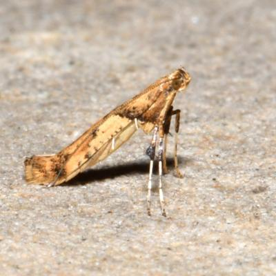 Caloptilia honoratella