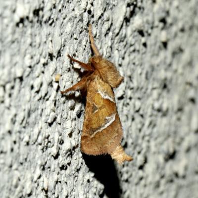 Hepialidae