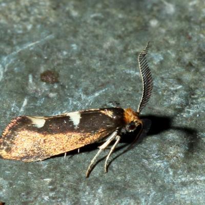 Incurvariidae