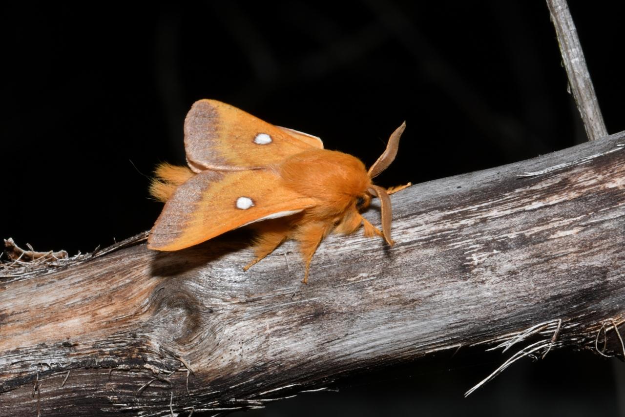 Eriogaster catax - Le Bombyx Evérie, La Laineuse du Prunellier (mâle)